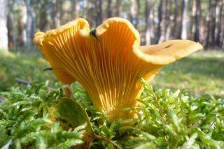 Leistenpilze (Cantharellales) - Mykopedia
